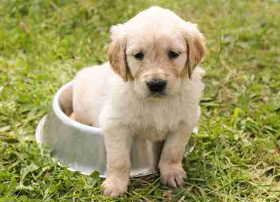 Karmienie psa - gotować czy kupować